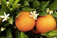 Hydrosol hoa cam (Neroli)